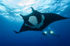 Giant Manta Ray at Socorro Island, Revillagigedos, Mexico. Socorro Island (Islas Revillagigedos), Baja California. Image #33291