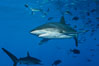 Silky Shark at San Benedicto Islands, Revillagigedos, Mexico. Socorro Island (Islas Revillagigedos), Baja California, Mexico. Image #33312