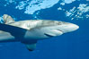 Silky Shark at San Benedicto Islands, Revillagigedos, Mexico. Socorro Island (Islas Revillagigedos), Baja California, Mexico. Image #33313