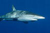 Silky Shark at San Benedicto Islands, Revillagigedos, Mexico. Socorro Island (Islas Revillagigedos), Baja California, Mexico. Image #33316