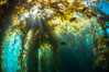 Sunlight streams through giant kelp forest. Giant kelp, the fastest growing plant on Earth, reaches from the rocky reef to the ocean's surface like a submarine forest. Catalina Island, California, USA. Image #33433