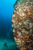 Underwater Reef with Invertebrates, Gorgonians, Coral Polyps, Sea of Cortez, Baja California. Mikes Reef, Mexico. Image #33492