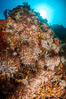 Underwater Reef with Invertebrates, Gorgonians, Coral Polyps, Sea of Cortez, Baja California. Mikes Reef, Mexico. Image #33493