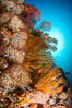 Underwater Reef with Invertebrates, Gorgonians, Coral Polyps, Sea of Cortez, Baja California. Mikes Reef, Mexico. Image #33494