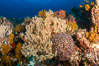 Underwater Reef with Invertebrates, Gorgonians, Coral Polyps, Sea of Cortez, Baja California. Mikes Reef, Mexico. Image #33499