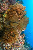Black coral on Healthy Coral Reef, Antipatharia, Sea of Cortez. Baja California, Mexico. Image #33502