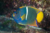 King Angelfish, Sea of Cortez, Baja California. Isla San Diego, Baja California, Mexico. Image #33528