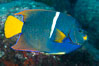 King Angelfish, Sea of Cortez, Baja California. Isla San Diego, Baja California, Mexico. Image #33533