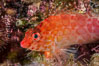 Coral Hawkfish, Sea of Cortez, Baja California. Isla San Diego, Baja California, Mexico. Image #33557