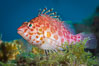 Coral Hawkfish, Sea of Cortez, Baja California. Isla San Diego, Baja California, Mexico. Image #33714