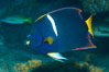 King Angelfish, Sea of Cortez, Punta Alta, Baja California, Mexico. Image #33725