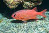 Panamic Soldierfish,  Sea of Cortez. Punta Alta, Baja California, Mexico. Image #33727