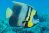 Cortez Angelfish, Pomacanthus zonipectus, Sea of Cortez, Mexico. Punta Alta, Baja California. Image #33728