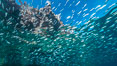 Baitfish schooling at the surface, Los Islotes, Sea of Cortez. Sea of Cortez, Baja California, Mexico. Image #33791