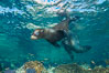 California sea lion underwater, Sea of Cortez, Mexico. Baja California. Image #33795