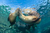 Sea Lions Underwater at Lobera San Rafaelito, Sea of Cortez. Lobera San Rafaelito, Baja California, Mexico. Image #33836