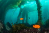 Garibaldi in kelp forest. Catalina Island, California, USA. Image #34168