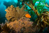 Garibaldi and golden gorgonian, with a underwater forest of giant kelp rising in the background, underwater. Catalina Island, California, USA. Image #34169