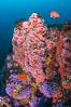 Submarine Reef with Hydrocoral and Corynactis Anemones, Farnsworth Banks, Catalina Island. California, USA. Image #34170