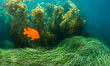 Garibaldi in eel grass, Catalina. Catalina Island, California, USA. Image #34172