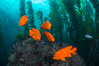 Garibaldi in kelp forest. Catalina Island, California, USA. Image #34175