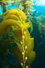 Kelp fronds and pneumatocysts. Pneumatocysts, gas-filled bladders, float the kelp plant off the ocean bottom toward the surface and sunlight, where the leaf-like blades and stipes of the kelp plant grow fastest. Giant kelp can grow up to 2' in a single day given optimal conditions. Epic submarine forests of kelp grow throughout California's Southern Channel Islands. Catalina Island, USA. Image #34176