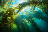 A kelp forest, with sunbeams passing through kelp fronds. Giant kelp, the fastest growing plant on Earth, reaches from the rocky bottom to the ocean's surface like a submarine forest. Catalina Island, California, USA. Image #34179