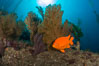 Garibaldi and golden gorgonian, with a underwater forest of giant kelp rising in the background, underwater. Catalina Island, California, USA. Image #34216