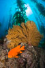 Garibaldi and golden gorgonian, with a underwater forest of giant kelp rising in the background, underwater. Catalina Island, California, USA. Image #34218