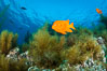 Garibaldi and invasive Sargassum. Catalina Island, California, USA. Image #34220