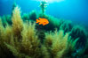 Garibaldi and invasive Sargassum. Catalina Island, California, USA. Image #34221