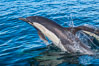 Common Dolphin Breaching the Ocean Surface. San Diego, California, USA. Image #34236
