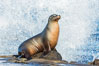 California sea lion, La Jolla. USA. Image #34272