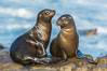 California sea lions, La Jolla. La Jolla, California, USA. Image #34273