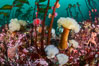 Colorful anemones and soft corals, bryozoans and kelp cover the rocky reef in a kelp forest near Vancouver Island and the Queen Charlotte Strait.  Strong currents bring nutrients to the invertebrate life clinging to the rocks. British Columbia, Canada. Image #34332