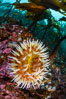 The Fish Eating Anemone Urticina piscivora, a large colorful anemone found on the rocky underwater reefs of Vancouver Island, British Columbia. Canada. Image #34342
