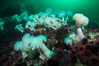 Giant Plumose Anemones cover underwater reef, Browning Pass, northern Vancouver Island, Canada. British Columbia, Canada. Image #34344