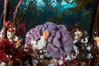Purple sponge with white and orange metridium anemones, below bull kelp forest, Browning Pass, Vancouver Island. British Columbia, Canada. Image #34347