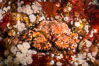 Lopholithodes mandtii Puget Sound King Crab amid a field of plumose anemones and red kelp, Queen Charlotte Strait, Canada. British Columbia. Image #34348
