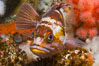 Copper Rockfish Sebastes caurinus with pink soft corals and reef invertebrate life,  Browning Passage, Vancouver Island, British Columbia. Canada. Image #34365