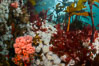 Colorful anemones and soft corals, bryozoans and kelp cover the rocky reef in a kelp forest near Vancouver Island and the Queen Charlotte Strait.  Strong currents bring nutrients to the invertebrate life clinging to the rocks. British Columbia, Canada. Image #34377