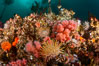 Colorful anemones cover the rocky reef in a kelp forest near Vancouver Island and the Queen Charlotte Strait.  Strong currents bring nutrients to the invertebrate life clinging to the rocks. British Columbia, Canada. Image #34380