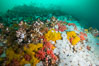 Rich invertebrate life on British Columbia marine reef. Plumose anemones, yellow sulphur sponges and pink soft corals,  Browning Pass, Vancouver Island, Canada. Image #34454