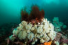 Plumose anemones cover the ocean reef, Browning Pass, Vancouver Island, Canada. British Columbia. Image #34457