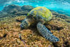 Green sea turtle foraging for algae on coral reef, Chelonia mydas, West Maui, Hawaii. USA. Image #34506