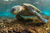 Green sea turtle foraging for algae on coral reef, Chelonia mydas, West Maui, Hawaii. USA. Image #34507