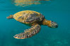Green sea turtle Chelonia mydas, West Maui, Hawaii. USA. Image #34513