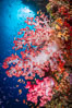 Closeup view of  colorful dendronephthya soft corals, reaching out into strong ocean currents to capture passing planktonic food, Fiji. Bligh Waters, Fiji. Image #34713