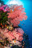 Beautiful South Pacific coral reef, with Plexauridae sea fans, schooling anthias fish and colorful dendronephthya soft corals, Fiji. Image #34716