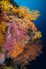 Colorful Chironephthya soft coral coloniea in Fiji, hanging off wall, resembling sea fans or gorgonians. Vatu I Ra Passage, Bligh Waters, Viti Levu Island, Fiji. Image #34718